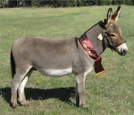 Cotswold Donkey & Shetland Pony Stud - breeding Small ...